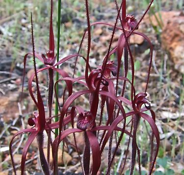 Blood spider Orchid (Caladenia filifera ) by Rick Playle