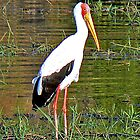 Yellow-Billed Stork by Graeme  Hyde
