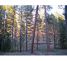 ponderosa forest 2 Photographic Print