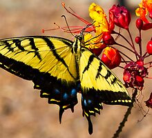 Tiger Swallowtail by Ray Chiarello