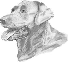 Labrador Dog Pencil Drawing by Catherine Roberts