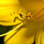 Yellow Daylily by onyonet photo studios