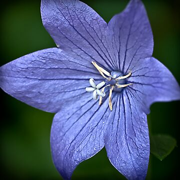Purple Balloon Flower by onyonet photo studios