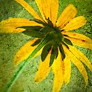 Rudbeckia on Cement by onyonet photo studios