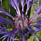 Centaurea  by Greybeard