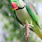 Alexandrine Parrot by Bevlea Ross