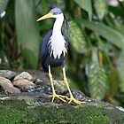 Pied Heron by Bevlea Ross