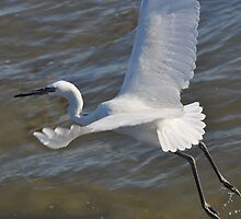 White Morph Reddish Egret by venny