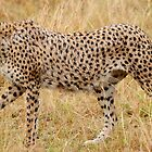 The fastest land animal on the planet. by Roger  Mackertich