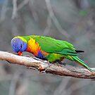 Rainbow Lorikeet Just Being Silly. Cedar Creek, Qld,  Australia. by Ralph de Zilva