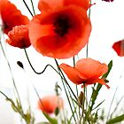 Red red poppies by Barbara Neveu