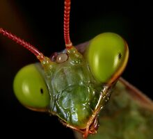 Mantis religiosa,male close-up by jimmy hoffman