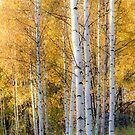 Thin Birches by Ari Salmela