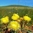 Mellowed yellow by Karen01