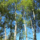 Aspen Poplar Trees by Jim Sauchyn
