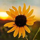Sunflower Sunset by Angi Allen