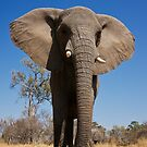 Elephant near Stanleys Camp, Botswana by Neville Jones