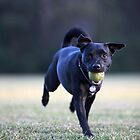 Staffordshire Bull Terrier Cross running with tennis ball in mouth and wearing heart dogtag by Sharpeyeimages