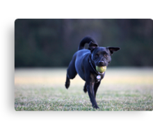 Staffordshire Bull Terrier Cross running with tennis ball in mouth and wearing heart dogtag Canvas Print