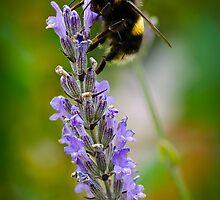 Harvesting Lavender #2 by DMontalbano