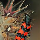Soldier beetle by jimmy hoffman