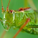 Specked Bush-Cricket by Keld Bach