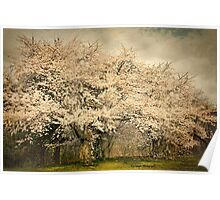High Park Cherry Blossoms II Poster