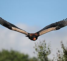 Bateleur Eagle 'Batty' by Simone Kelly