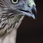 Goshawk by Simone Kelly