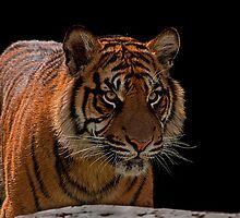 Sumatran Tiger v2 by JMChown