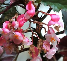 B is for giant begonia :-) by Jay Reed