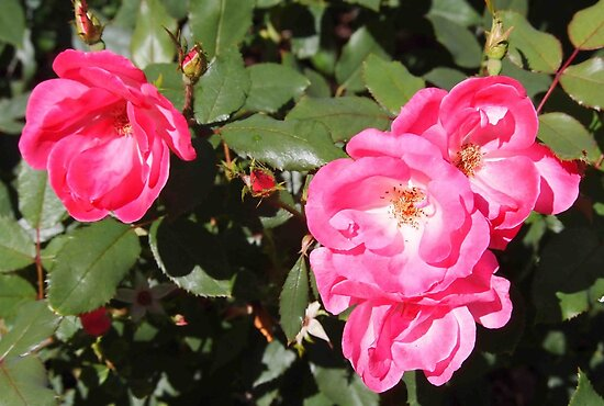 knockout roses by Linda  Makiej