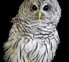 Barred Owl by Mark Hughes