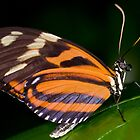 Tiger Longwing Butterfly by Keld Bach