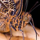 Owl Butterfly Up Close by Keld Bach