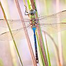 Common Green Darner Dragonfly by Bonnie T.  Barry