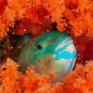 Parrotfish asleep, Wakatobi National Park, Indonesia by Erik Schlogl