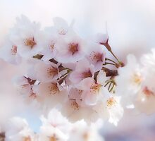 Sakura Cherry Blossom by mikeofthethomas