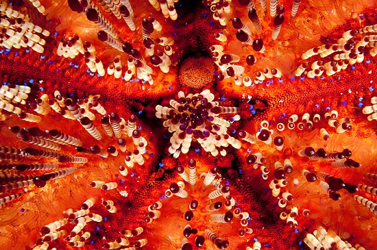 Magnificent Fire Urchin, Wakatobi National Park, Indonesia by Erik Schlogl
