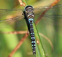 Migrant Hawker by Hovis