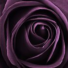 purple rose by clayton  jordan