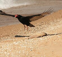 Turkey Vulture With Fish Carcass~ by Renee Blake