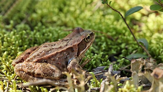 toad in the grass by mrivserg