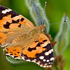 Painted Lady by Keld Bach
