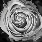 Rose Spiral Black and White by Bo Insogna