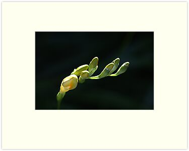 Freesia Fingers  by Joy Watson