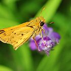 Orange Skipper Butterfly by sunrisern