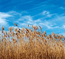 Field of grasses waving in the breeze by Jeff Knapp