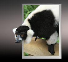Black & White Ruffed Lemur by flashcompact