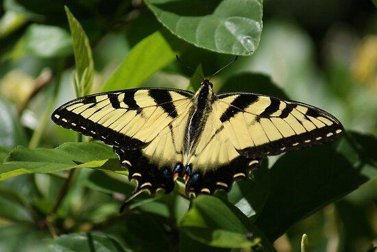 Yellow Swallowtail by Rick  Friedle